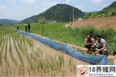 稻田泥鳅养殖技术 _水产养殖(养泥鳅的技巧)