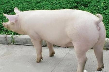 母猪孕前准备、发情鉴定和复壮试验方法