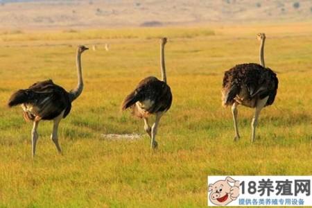 非洲鸵鸟如何过冬? _禽类养殖(养鸵鸟的技巧)