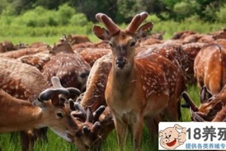 梅花鹿适合在东北饲养吗? _动物养殖(养梅花鹿的技巧)