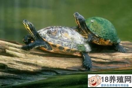 海龟吃什么,怎么进食? _水产养殖(养乌龟的技巧)