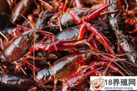 养小龙虾每亩净赚5000元!小心翼翼、完美避开五月瘟疫的秘诀是什么? _水产养殖(养河虾的技巧)