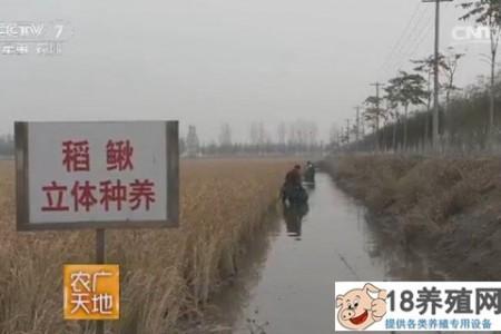 天津宝坻米泥鳅混养技术 _水产养殖(养泥鳅的技巧)