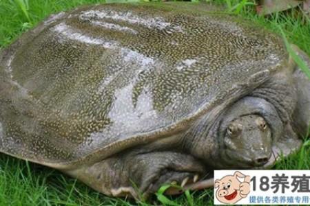 只养了五年的单身海龟 _水产养殖(养乌龟的技巧)
