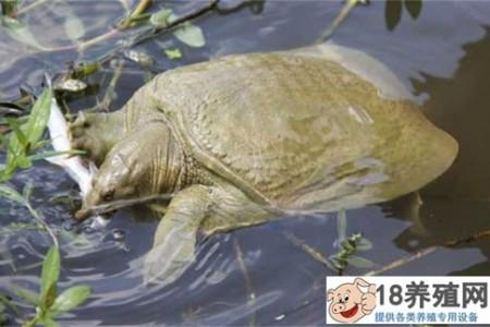 海龟养殖模式和养殖技术 _水产养殖(养甲鱼的技巧)
