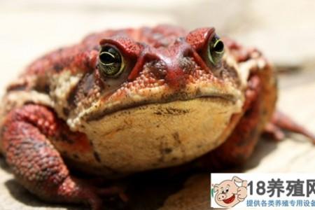 吃牛蛙有什么营养价值? _水产养殖(养牛蛙的技巧)