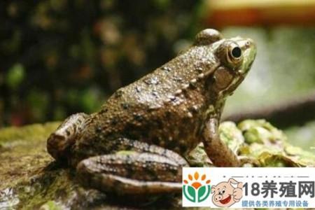 牛蛙和青蛙有什么区别? _水产养殖(养牛蛙的技巧)