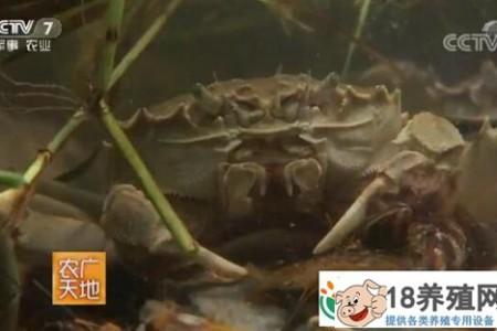 模仿野生养殖大闸蟹有一个提前上市的妙招 _水产养殖(养河蟹的技巧)