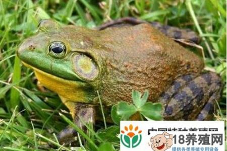牛蛙不能吃什么? _水产养殖(养牛蛙的技巧)