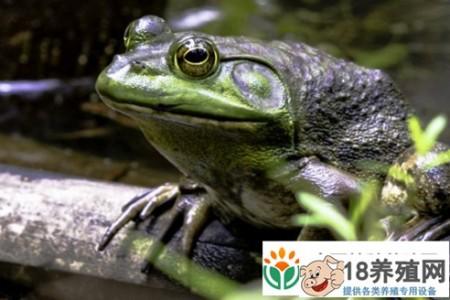 吃牛蛙更容易感染寄生虫吗? _水产养殖(养牛蛙的技巧)