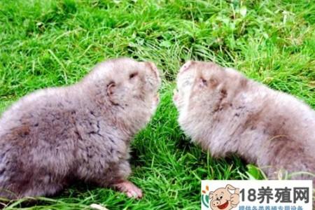 竹鼠越冬饲养管理要点 _动物养殖(养竹鼠的技巧)