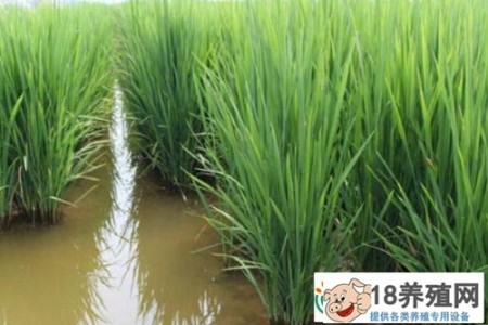 回乡创业,用稻田养泥鳅,想办法致富 _水产养殖(养泥鳅的技巧)