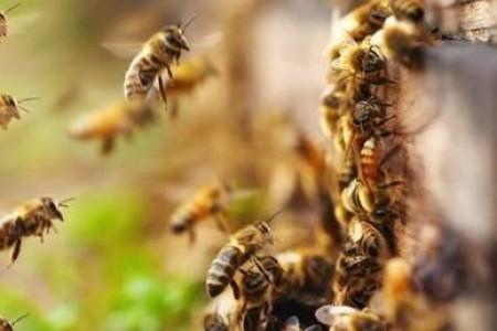 新手如何养蜂?饲养蜜蜂有哪些注意事项?