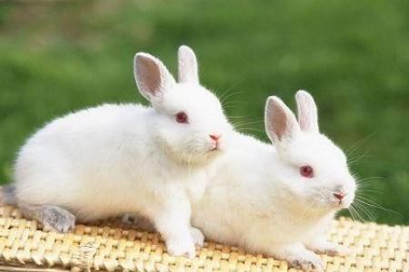 幼兔的饲养管理要点是什么?幼兔常见疾病有哪些防治方法?