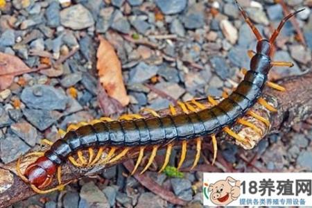 养蜈蚣的4个误区,哪些蜈蚣养殖是骗局 _昆虫养殖(养蜈蚣的技巧)