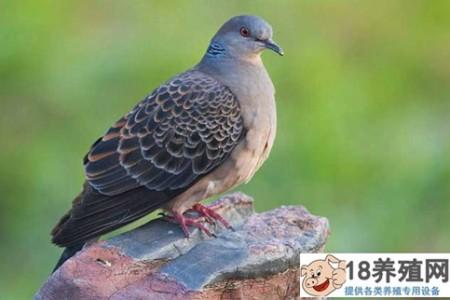 斑鸠一年能繁殖多少窝 _禽类养殖(养斑鸠的技巧)