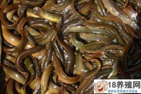 鳗鱼和泥鳅可以一起养吗?怎么混? _水产养殖(养黄鳝的技巧)