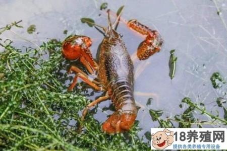 小龙虾的养殖也是如此。有些人快乐,有些人悲伤。小龙虾怎么养才能赚钱? _水产养殖(养河虾的技巧)