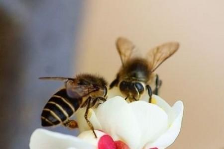 不同种类蜜蜂的定义,如何区分蜂后、工蜂、雄蜂?