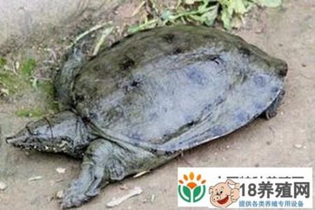 走进太湖——探索仿野生龟养殖和林下养鸡 _水产养殖(养甲鱼的技巧)