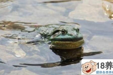 牛蛙养殖市场有前景吗? _水产养殖(养牛蛙的技巧)