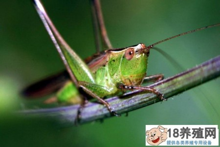 蝗虫是益虫还是害虫?如何控制 _昆虫养殖(养蚂蚱的技巧)