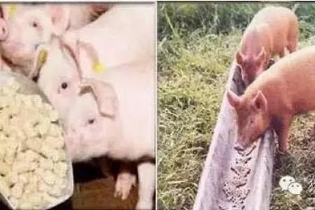 猪喂五味猪很难不增重!