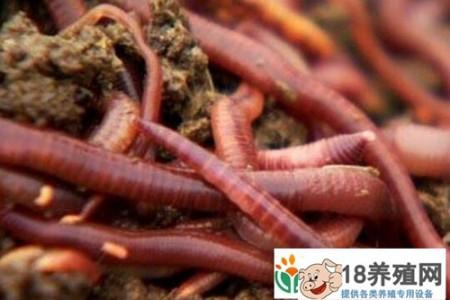 猪粪养蚯蚓:经济效益高,但技术推广难度大 _昆虫养殖(养蚯蚓的技巧)