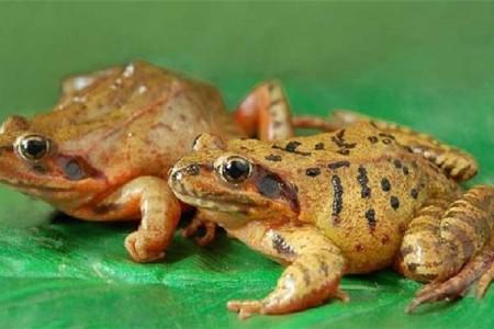 中国林蛙养殖技术及注意事项