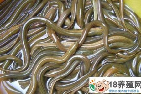 鳗鱼苗的最佳繁殖时间是什么时候 _水产养殖(养黄鳝的技巧)