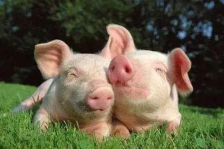 2周大的小猪发病率高!警惕!