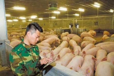 """湖南潮南:智能农场饲养""""生态猪""""增加农民收入"""