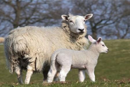 种羊饲管五记