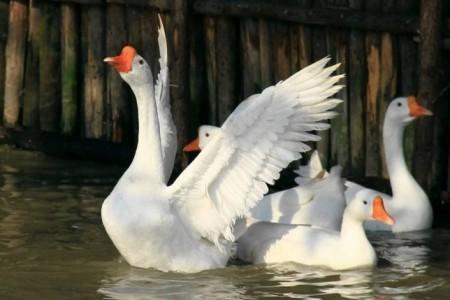 春季常见鹅病及其预防措施