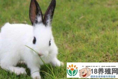大多数人不知道肉兔的快速育肥技术? _动物养殖(养兔子的技巧)