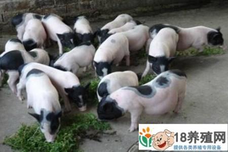 猪的脂肪怎么了? _动物养殖(养香猪的技巧)