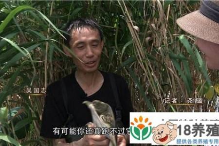 江苏丹阳吴国志用牛肉养乌龟就不一样了 _水产养殖(养甲鱼的技巧)