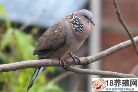 斑鸠喜欢吃什么食物 _禽类养殖(养斑鸠的技巧)