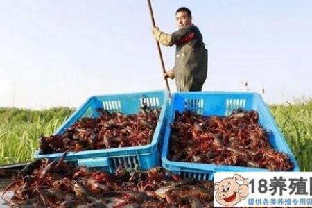 新手养虾如何避免赔钱?分析小龙虾养殖赚钱的奥秘 _水产养殖(养河虾的技巧)