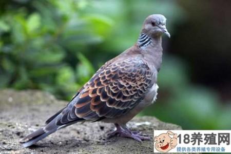 怎么抓斑鸠?斑鸠的人工繁殖方法 _禽类养殖(养斑鸠的技巧)
