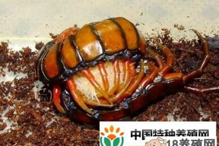 蜈蚣孵化期间的关键管理技术 _昆虫养殖(养蜈蚣的技巧)