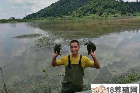 陈建华模仿野生甲鱼养殖五年,不会有回报 _水产养殖(养甲鱼的技巧)
