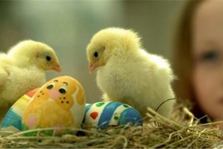春季养鸡技术要点