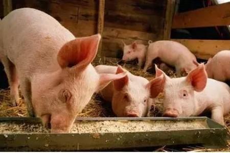 聪明的用紫糖浆治疗猪病可以省钱!