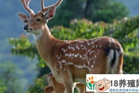 2020年养鹿国家给补贴吗?条件是什么? _动物养殖(养梅花鹿的技巧)