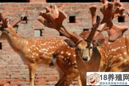 养鹿的技术内容有哪些? _动物养殖(养梅花鹿的技巧)