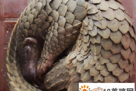 """中国的""""食物""""将非洲穿山甲推向灭绝 _动物养殖(养穿山甲的技巧)"""