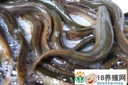 泥鳅越冬期养殖技术要点 _水产养殖(养泥鳅的技巧)