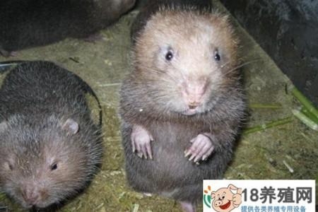 秘密:在山洞里养竹鼠赚钱是有门道的 _动物养殖(养竹鼠的技巧)