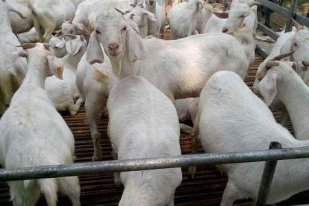 如何预防和控制舍饲绵羊的疫病?